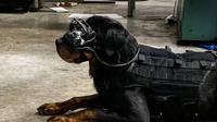 Anjing Militer AS Akan Pakai Kacamata AR. Dok: Command Sight