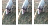"""Karena unik, hewan kurban ini jadi tontonan warga yang penasaran,"" kata Rahman Taufik, pedagang hewan kurban di tempat dagangannya."