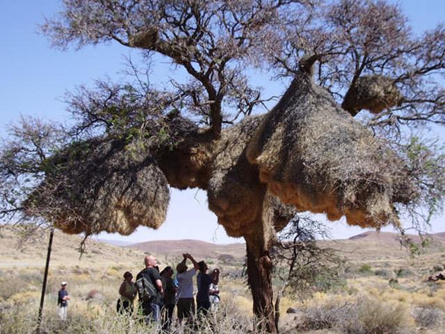 Beberapa habitat burung penenun dijadikan lokasi wisata dan penelitian/copyright duskyswondersite.com