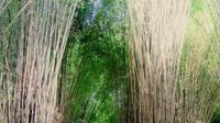 Hutan Bambu Keputih, Surabaya, Jawa Timur. (royandrian/Instagram)