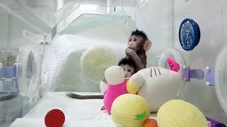 Dua monyet kloning, Zhong Zhong dan Hua Hua, berada dalam kandang di sebuah laboratorium, China. Mereka menjadi primata pertama yang dikloning dari sel non-embrio dimana urutan primata adalah monyet, kera, dan manusia. (Chinese Academy of Sciences via AP)