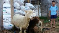 Karakterisitik domba Batur, Dieng, Banjarnegara yang menggemaskan mengingatkan kepada tokoh kartun populer, Shaun The Sheep. ( Foto: Liputan6.com/Muhamad Ridlo).