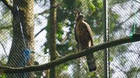 Elang Jawa di Taman Nasional Gunung Halimun Salak, Bogor.