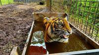 Harimau sumatra yang pernah berkonflik dengan manusia dan kini sudah dilepasliarkan lagi. (Liputan6.com/Dok BBKSDA Riau)
