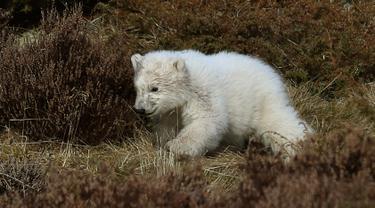 Seekor bayi beruang kutub berlarian mengitari kandangnya di Highland Wildlife Park, Skotlandia, Inggris, Selasa (20/3). Bayi beruang kutub tersebut lahir pertama kali di Inggris setelah kurun waktu 25 tahun terakhir. (Andrew Milligan/PA via AP)