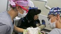 Pemeriksaan di dokter gigi ditemani anjing terapi Zucca di Los Andes University Medical Center di pinggiran kota Santiago, Chile. (foto: AP Photo/Esteban Felix)