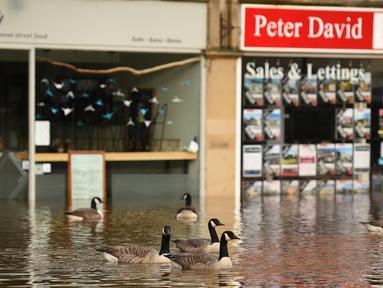 Angsa melintasi banjir yang merendam jalan-jalan Jembatan Hebden, Inggris utara (9/2/2020). Badai Ciara melanda sejumlah wilayah di Inggris dan benua Eropa bagian utara dengan hujan lebat disertai angin kencang pada Minggu 9 Februari 2020. (AFP Photo/Oli Scarff)