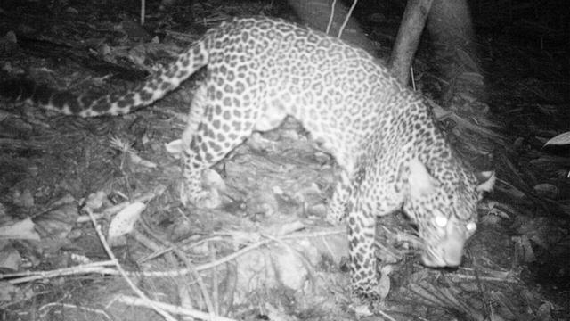 Kisah Macan Macan Kumbang Di Lembah Kematian Nusakambangan