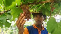 Muhtasim, warga Bontang, Kaltim saat hendak memanen buah anggurnya.