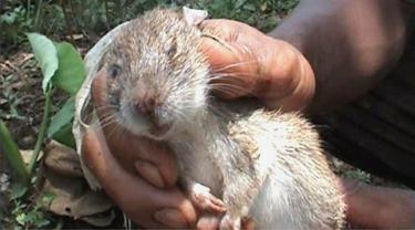 Tikus – hewan yang berpotensi menularkan Leptospirosis. (Foto: Liputan6.com/Muhamad Ridlo)