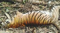 Induk Harimau Sumatera yang mati karena jerat di Kabupaten Kuantan Singingi. (Liputan6.com/Dok BBKSA Riau/M Syukur)