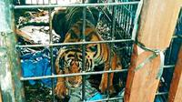 Harimau sumatra yang disebut sering memangsa manusia di Kabupaten Indragiri Hilir setelah ditangkap BBKSDA Riau. (Liputan6.com/Dok BBKSDA Riau/M Syukur)
