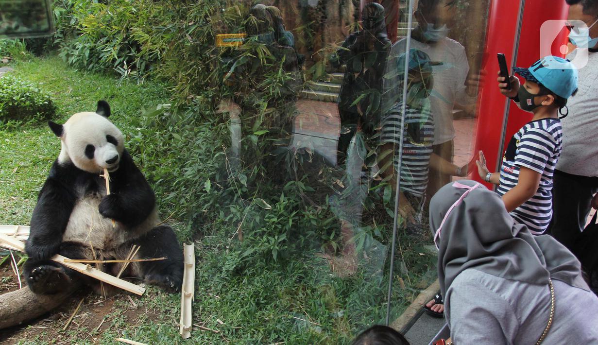 Pengunjung menyaksikan giant panda di Istana Panda Taman Safari Indonesia, Cisarua, Kabupaten Bogor, Jawa Barat, Sabtu (26/9/2020). Kunjungan wisatawan ke kawasan wisata Puncak dan sekitarnya turun 40-50 persen akibat terdampak pandemi COVID-19 dan PSBB DKI Jakarta. (merdeka.com/Arie Basuki)