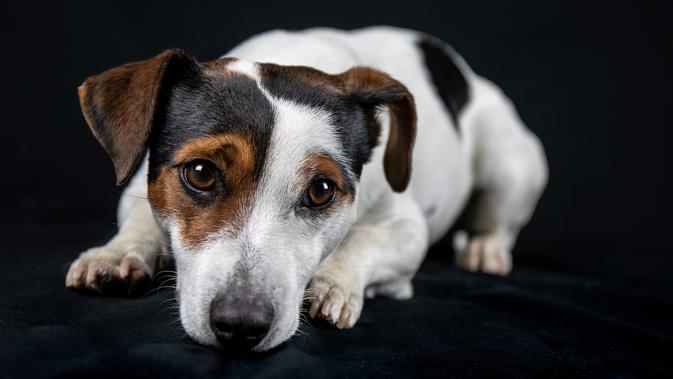 9 Arti Mimpi Anjing Pertanda Kebahagiaan Atau Nasib Buruk Ragam Bola Com