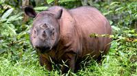 Badak Sumatera. (AFP)