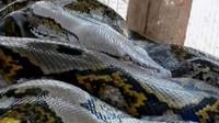 Ilustrasi ular piton