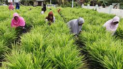 Suasana saat anggota KWT Mekar Wangi binaan program DMPA yang diinisiasi APP Sinarmas merawat tanaman jahe merah di Tanjung Jabung Barat, Jambi, Jumat (4/5). Program ini melibatkan 130 petani wanita setempat. (Liputan6.com/Angga Yuniar)