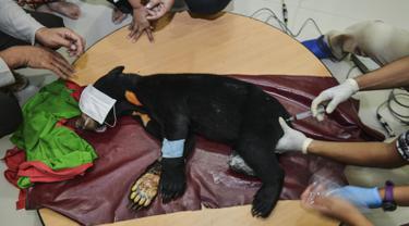 Dokter hewan dan mahasiswa mengobati kaki beruang madu setelah operasi amputasi di Banda Aceh (14/6/2019). Salah satu dari dua beruang madu yang terkena jerat babi di Kabupaten Aceh Barat Daya harus diamputasi kaki kanannya. (AFP Photo/Chaideer Mahyuddin)