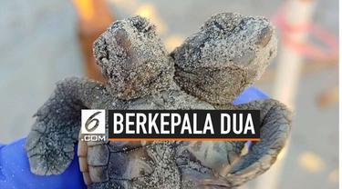 Para pekerja di area konservasi Hilton Head Island, California menemukan bayi penyu berkepala dua baru menetas. Hewan tersebut dilepaskan ke lautan.
