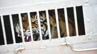 Harimau sumatra liar yang berhasil ditangkap berada dalam kandang evakuasi di Desa Singgersing, Kota Subulussalam, Aceh, Minggu (8/3/2020). BKSDA Aceh mendatangkan pawang dan memasang perangkap untuk menangkap harimau yang selama ini memangsa ternak warga di daerah itu. (CHAIDEER MAHYUDDIN/AFP)