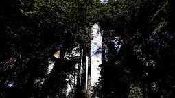 Sekelompok kupu-kupu raja berterbangan di suaka Amanalco de Becerra, Meksiko, 14 Februari 2019. Kupu-kupu raja biasa tiba di negara bagian Meksiko tengah pada minggu pertama bulan November setelah migrasi tahunan dari Kanada dan AS. (AP/Marco Ugarte)