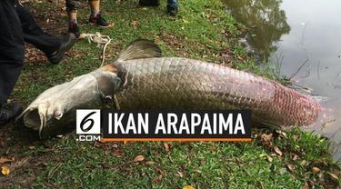 Ikan jenis Arapaima ditemukan terdampar mati di sungai Sabah, Kinabalu, Malaysia.