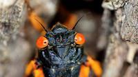 Jangkrik berkala dewasa yang baru berganti kulit memanjat pohon di Takoma Park, Maryland, Amerika Serikat, 17 Mei 2021. Miliaran jangkrik berkala Magicicada - anggota Brood X - telah mulai muncul di AS. (Chip Somodevilla/Getty Images/AFP)