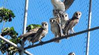 Warga Cilacap membangun pasukan burung-burung hantu untuk melawan hama tikus sawah (Liputan6.com/Aris Andrianto)