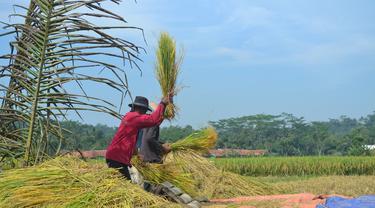Petani klaster beras organik dan varietas Menthik Wangi di Cingebul, Lumbir, Kabupaten Banyumas, . (Foto: Liputan6.com/Muhamad Ridlo)