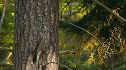 "Anda lihat burung hantu? Burung Hantu Abu-Abu (Great Gray Owl) atau (Strix nebulosa) yang juga dikenal sebagai ""Hantu dari Utara,"" Spesies ini mendiami hutan konifer di Amerika Utara, Finlandia, Estonia dan Asia utara. (boredpanda.com)"