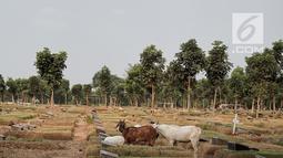 Kawanan kambing berkeliaran mencari makan TPU Pondok Rangon, Jakarta, Sabtu (10/8/2019). Kambing tersebut sengaja digembalakan di area kuburan oleh pemiliknya lantaran kurangnya lahan hijau di daerah perkotaan. (Liputan6.com/Faizal Fanani)