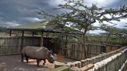 Aktivitas satu-satunya pejantan dari tiga badak putih terakhir di dunia bernama Sudan di Nanyuki, Kenya, 20 Desember 2009. Dengan meninggalnya Sudan, kini tersisa dua badak putih betina di dunia. (Tony KARUMBA/AFP)