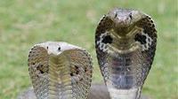 Ular kobra perempuan dan laki-laki. (Liputan6/pinterest)
