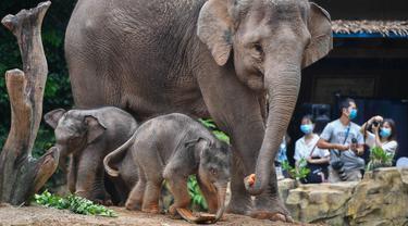 Dua bayi gajah Asia bermain dekat seekor induk gajah di Taman Safari Chimelong, Guangzhou, Provinsi Guangdong, China, Rabu (27/5/2020). Dua gajah Asia betina di Taman Safari Chimelong melahirkan dua bayi pada tanggal 30 April dan 12 Mei 2020. (Xinhua/Liu Dawei)