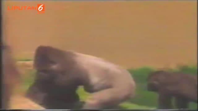 Jambo sang gorila diketahui telah meninggal pada tahun 1992.