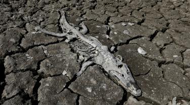 Bangkai buaya caiman yacare terlihat di tepi sungai Pilcomayo yang mengalami kekeringan di Boqueron, Paraguay, 14 Agustus 2016. Selama hampir dua dekade terakhir ini debit air sungai Pilcomayo berada pada tingkat terendah. (REUTERS/Jorge Adorno)