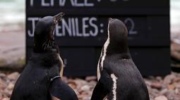 Dua penguin Humboldt berdiri saat dilakukan sensus binatang di Kebun Binatang ZSL London, Inggris, Kamis (3/1). Sensus tahunan ini wajib dilakukan sebagai persyaratan izin kebun binatang. (Adrian DENNIS/AFP)