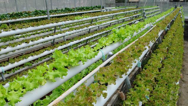 Sayuran Hidroponik Juga Organik Health Liputan6 Com