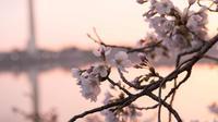 Bunga sakura yang bermekaran terlihat di sekitar Basin Tidal saat matahari terbit di Washington, DC, (4/6). (AFP Photo/Saul Loeb)