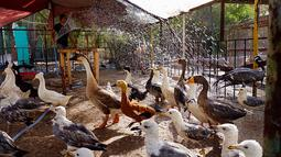 Burung-burung mendapatkan semprotan air cuaca panas melanda di Kebun Binatang pribadi, Basra, 340 mil (550 kilometer) Baghdad, Irak (30/7). Layanan cuaca Irak memperingatkan suhu meningkat hingga mencapai 51 derajat Celcius. (AP Photo/Nabil al-Jurani)