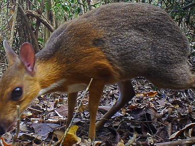 Hewan yang menyerupai perpaduan tikus dan rusa berhasil direkam di sebuah kawasan hutan di tenggara Vietnam. (GLOBAL WILDLIFE CONSERVATION / SOUTHERN INSTITUTE OF ECOLOGY / LEIBNIZ INSTITUTE FOR ZOO AND WILDLIFE RESEARCH / NCNP / AFP)