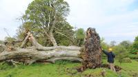 Pohon berusia 215 tahun tumbang di Irlandia (LiveScience/ Marion Dowd)