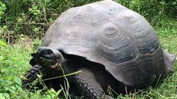 Kura-kura berukuran raksasa ditemukan di Pulau Santa Cruz, Kepulauan Galapagos, 21 Oktober 2015. Kura-kura yang bisa hidup lebih dari 100 tahun itu diketahui memiliki tempurung yang lebih padat ketimbang spesies lainnya. (REUTERS/Galapagos National Park)
