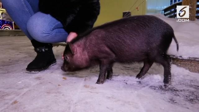 Warga Rusia menganggap babi dapat membawa keberuntungan. Oleh karena itu, mereka menjadikan hadiah tersebut sebagai hadiah untuk tahun baru.