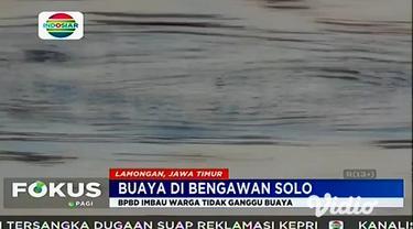 Kemunculan buaya di Sungai Bengawan Solo mendapat perhatian dari Pemkab Lamongan. Melalui BPBD Lamongan, Pemkab ikut melihat penampakan buaya di Bengawan Solo yang melintasi wilayah Desa Konang, Kecamatan Glagah.