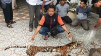 Kulit harimau sumatra yang disita personel Polda Riau dari sindikat pemburu harimau di Indragiri Hulu. (Liputan6.com/M Syukur)