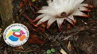Bunga Rafflesia langka ditemukan mekar di Bengkulu (Liputan6.com/Yuliardi Hardjo Putro)