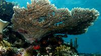 Acropora latistella (Table coral). (Creative Commons)
