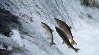 Ilustrasi Ikan Salmon. Foto : Telegraph UK