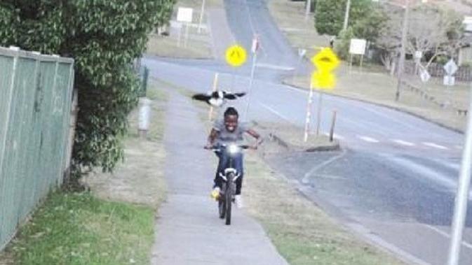 Seorang wanita yang sedang mengendarai motor diserang oleh burung murai Australia dari atas kepala. (Wikipedia/Creative Commons)
